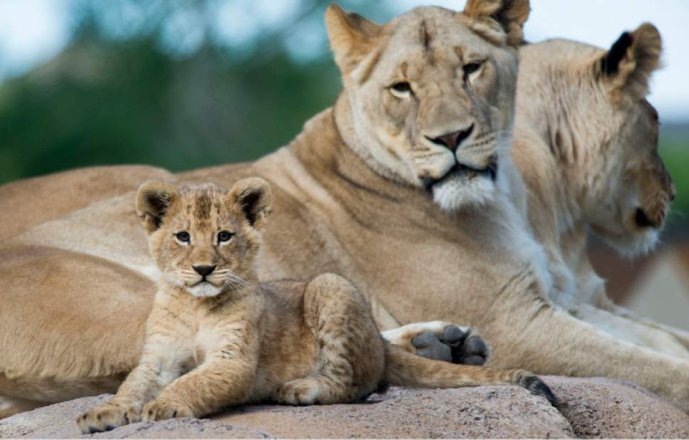 Steve Griffin / The Salt Lake Tribune  One of three lion cubs born at Utah's Hogle Zoo in February hangs out with mother Nabu and aunt Seyla as they are introduced to the public for the first time Monday May 16, 2016. Born at roughly two pounds each, the cubs now tip the scales at 20-26 pounds each! (Brutus - 26; Titus - 24 and Calliope - 20.)  The cubs bonded great with mom, Nabu, who has been a perfect first-time mother: attentive, protective and loving.  The cubs live with the rest of the pride - father Baron, 'auntie' Seyla and 'uncle' Vulcan at Lions' Hill.