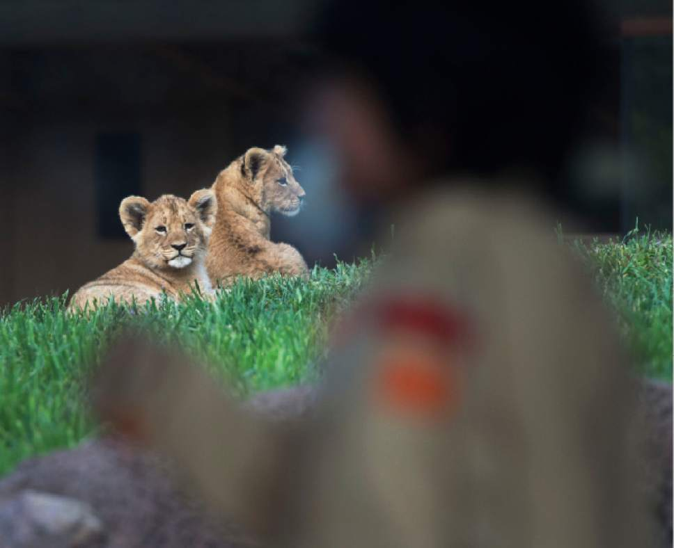 Steve Griffin / The Salt Lake Tribune  Two of three lion cubs born at Utah's Hogle Zoo in February rest after nursing from their mother Nabu as they are introduced to the public for the first time Monday May 16, 2016. Born at roughly two pounds each, the cubs now tip the scales at 20-26 pounds each! (Brutus - 26; Titus - 24 and Calliope - 20.)  The cubs bonded great with mom, Nabu, who has been a perfect first-time mother: attentive, protective and loving.  The cubs live with the rest of the pride - father Baron, 'auntie' Seyla and 'uncle' Vulcan at Lions' Hill.
