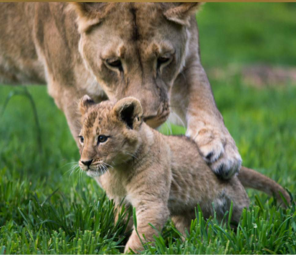 Steve Griffin / The Salt Lake Tribune  One of three lion cubs born at Utah's Hogle Zoo in February hangs out with mother Nabu as they are introduced to the public for the first time Monday May 16, 2016. Born at roughly two pounds each, the cubs now tip the scales at 20-26 pounds each! (Brutus - 26; Titus - 24 and Calliope - 20.)  The cubs bonded great with mom, Nabu, who has been a perfect first-time mother: attentive, protective and loving.  The cubs live with the rest of the pride - father Baron, 'auntie' Seyla and 'uncle' Vulcan at Lions' Hill.