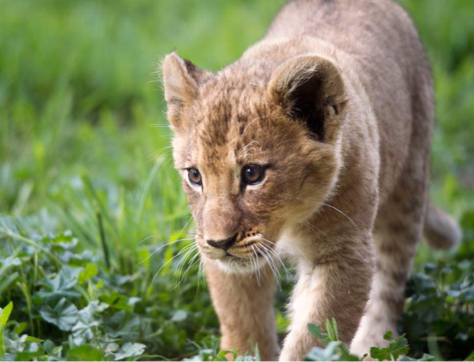 Steve Griffin / The Salt Lake Tribune  One of three lion cubs born at Utah's Hogle Zoo in February plays in the grass as they are introduced to the public for the first time Monday May 16, 2016. Born at roughly two pounds each, the cubs now tip the scales at 20-26 pounds each! (Brutus - 26; Titus - 24 and Calliope - 20.)  The cubs bonded great with mom, Nabu, who has been a perfect first-time mother: attentive, protective and loving.  The cubs live with the rest of the pride - father Baron, 'auntie' Seyla and 'uncle' Vulcan at Lions' Hill.