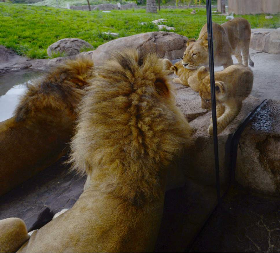 Steve Griffin / The Salt Lake Tribune  First time mother, Nabu, scolds the male lions as her three lion cubs born at Utah's Hogle Zoo in February hang out as they are introduced to the public for the first time Monday May 16, 2016. Born at roughly two pounds each, the cubs now tip the scales at 20-26 pounds each! (Brutus - 26; Titus - 24 and Calliope - 20.)  The cubs bonded great with mom, Nabu, who has been a perfect first-time mother: attentive, protective and loving.  The cubs live with the rest of the pride - father Baron, 'auntie' Seyla and 'uncle' Vulcan at Lions' Hill.
