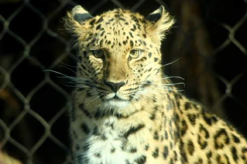 Courtesy  |  Hogle Zoo  Zeya, the Amur Leopard briefly escaped her enclosure at Hogle Zoo Tuesday June 7, 2016.