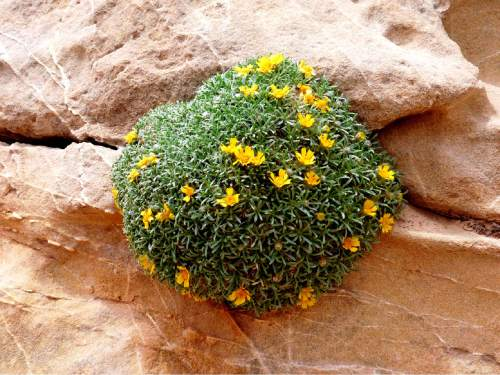Erin Alberty  |  The Salt Lake Tribune  A cushion of yellow flowers grows out of a vertical rock wall May 1, 2016, in the San Rafael Swell.