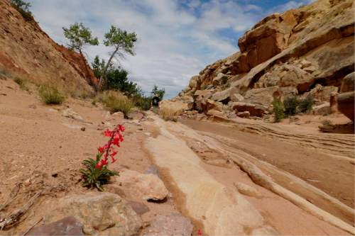 Erin Alberty  |  The Salt Lake Tribune  A penstemon puts on a show for approaching hikers May 1, 2016, near Moonshine Tanks in the San Rafael Swell.