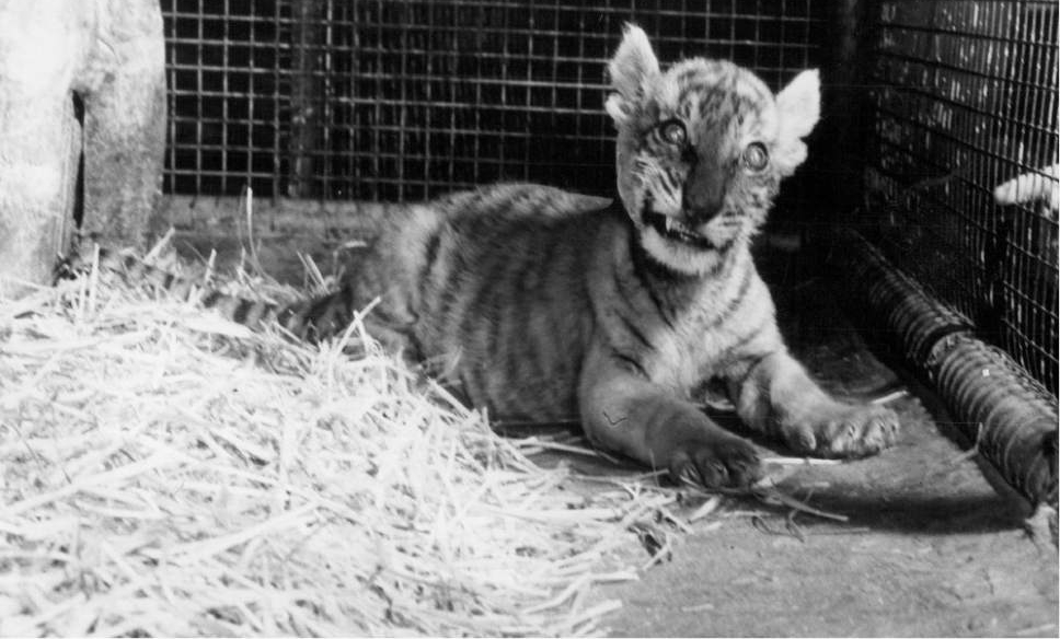 Tribune file photo  Shasta the Liger is seen at Salt Lake City's Hogle Zoo in this photo from 1950.