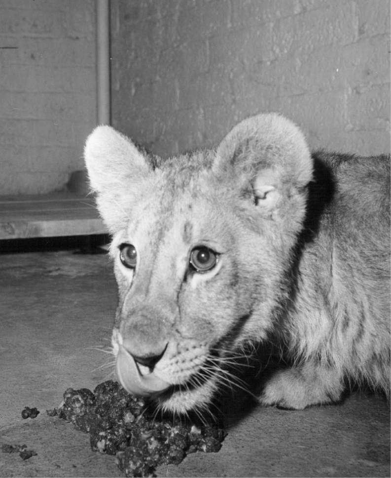 Tribune file photo  Shasta the liger is seen in this photo from 1964.