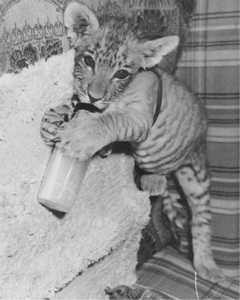 Tribune file photo  Shasta the liger is seen at Salt Lake City's Hogle Zoo in this photo from 1948.