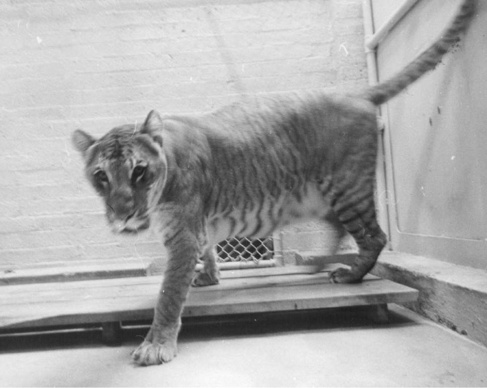 Tribune file photo Shasta the liger is seen in this undated photo.