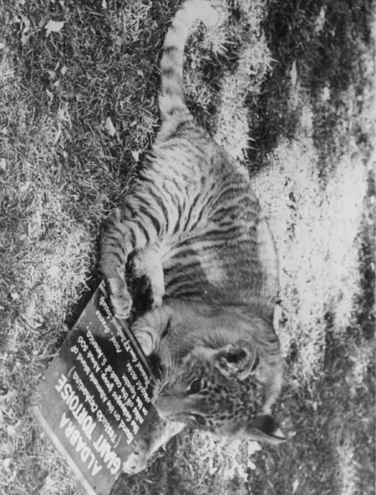 Tribune file photo Shasta the liger plays Salt Lake City's Hogle Zoo in 1948.