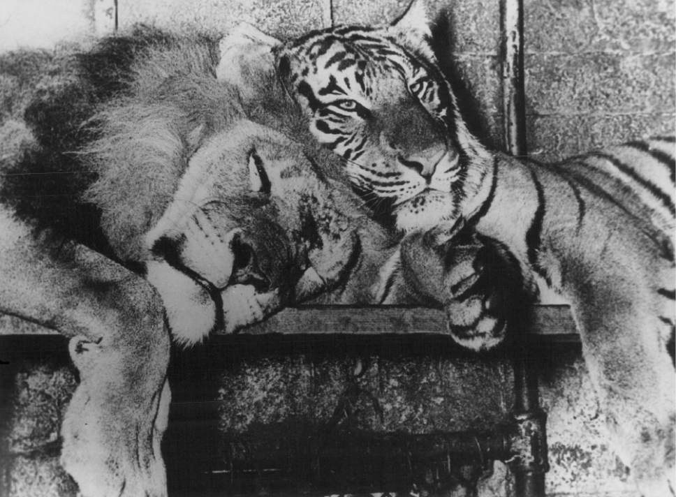 Tribune file photo Shasta's father was Huey, a lion, and her mother was Daisy, a tiger.