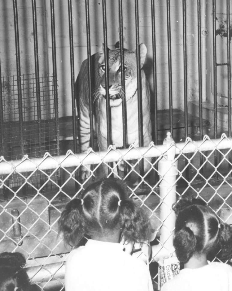 Tribune file photo  Children watch Shasta the liger in this undated photo.