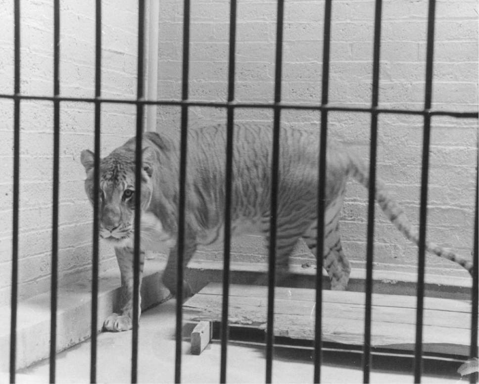 Tribune file photo  Shasta the liger is seen at Salt Lake City's Hogle Zoo in this undated photo.