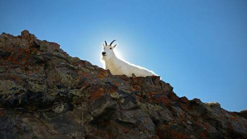 Lennie Mahler  |  The Salt Lake Tribune A mountain goat navigates rocky terrain near the summit of Mount Timpanogos in Provo, Utah, Tuesday morning, Sept. 17, 2014.