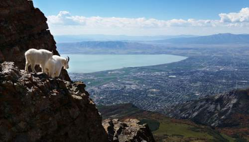 Lennie Mahler  |  The Salt Lake Tribune Mountain goats navigate rocky terrain near the summit of Mount Timpanogos in Provo, Utah, Tuesday morning, Sept. 17, 2014.