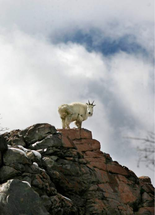 GOATS One of a group of Rocky Mountain Goats pauses atop a rocky outcropping as they scramble across a ledge in Big Cottonwood Canyon, Sunday 4/5/09. Scott Sommerdorf/The Salt Lake Tribune