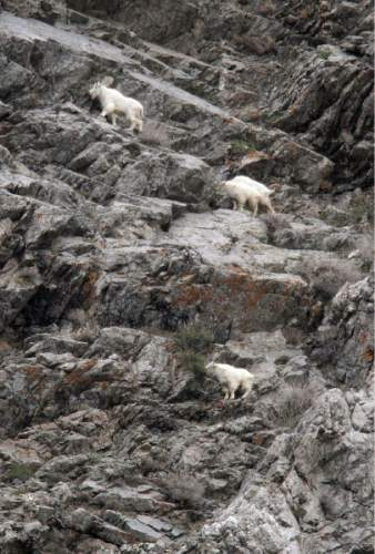 Francisco Kjolseth  |  Tribune file photo Four mountain goat looks feed along the jagged rocks at the base of Little Cottonwood Canyon in 2011. The Utah Division of Wildlife Services is once again inviting the public to observe mountain goats using provided binoculars and spotting scopes. This year's viewing party is April 20, 2013.