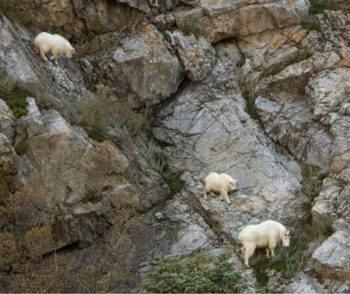 Steve Griffin  |  The Salt Lake Tribune  A pair of young mountain goats and an adult graze on the cliffs at the mouth of Little Cottonwood Canyon Friday, November 5, 2010.