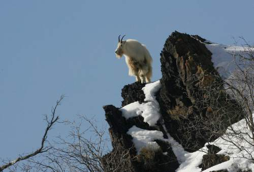 Scott Sommerdorf   |  Tribune file photo A mountain goat forages for food on a rocky cliff up Big Cottonwood Canyon in February. A Division of Wildlife Resources proposal to expand the relocation of mountain goats in Utah is meeting with some opposition.