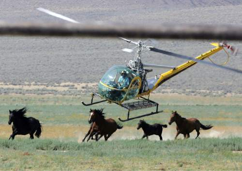 FILE - In this July 13, 2008 file photo a livestock helicopter pilot rounds up wild horses from the Fox & Lake Herd Management Area from the range in Washoe County, Nev., near the town on Empire, Nev. The Bureau of Land Management is on a path to sterilize wild horses on U.S. rangeland to slow herd growth _ a first-time approach condemned by mustang advocates across the West. (AP Photo/Brad Horn, File)