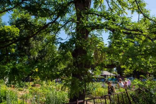 Salt Lake City\'s Grateful Tomato Garden gets agricultural protection ...