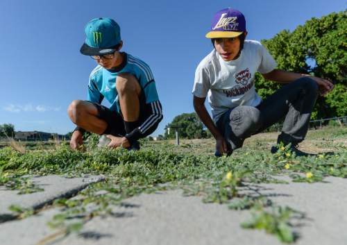Francisco Kjolseth | The Salt Lake Tribune Volunteer brothers Patrick, 12, left, and Ramiro Shearer Davis, 15, releases tiny Puncture Vine Weevils on the Jordan River trail in hopes of ridding the area of goatheads, the invasive weed with those awful thorny barbs.