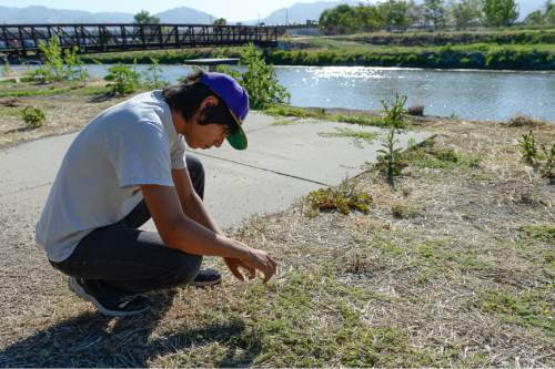 Francisco Kjolseth | The Salt Lake Tribune Volunteer Ramiro Shearer Davis, 15, releases tiny Puncture Vine Weevils on the Jordan River trail in hopes of ridding the area of goatheads, the invasive weed with those awful thorny barbs.