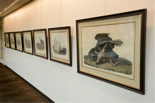 Rick Egan  |  The Salt Lake Tribune  The University of Utah Marriott Library has unveiled 13 oversized prints by John J. Audubon, recently donated to the University of Utah.