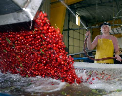 Al Hartmann  |  The Salt Lake Tribune  Tart cherries are dumped into a water bath before before making their way further in the cleaning and processing facility at McMullin Orchards in Payson on Thursday, July 28.  The state's cherry crop, both tart and sweet, is exceptionally good this year, according to Utah farmers. While the last of the crop is being picked this week, farmers expect it to be around 49 million pounds, which would match the record set two years ago.