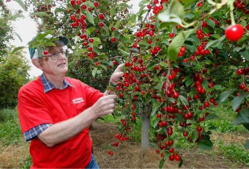 Al Hartmann  |  The Salt Lake Tribune Robert McMullin checks tart cherry trees ready for harvest July 29. For more than five decades, he has farmed his family's large fruit orchards in Payson.
