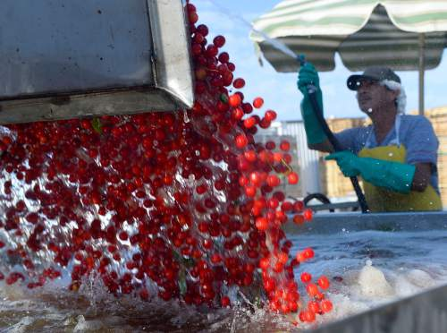 Al Hartmann  |  The Salt Lake Tribune  Just-picked pie cherries are dumped into a water bath before before making their way into the cleaning and processing facility at McMullin Orchards in Payson on Thursday, July 28.   The state's cherry crop, both tart and sweet,  is exceptionally good this year, according to Utah farmers.