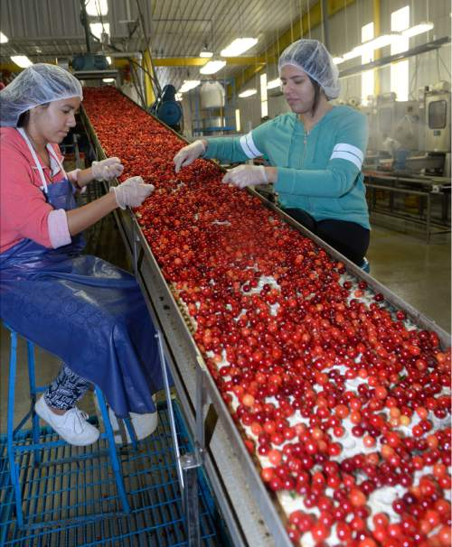 Al Hartmann  |  The Salt Lake Tribune  Just-picked pie cherries are dumped into a water bath before before making their way into the cleaning and processing facility at McMullin Orchards in Payson on Thursday, July 28.   The state's cherry crop, both tart and sweet,  is exceptionally good this year, according to Utah farmers. While the last of the crop is being picked this week, farmers expect it to be around 49 million pounds, which would match the record set two years ago.