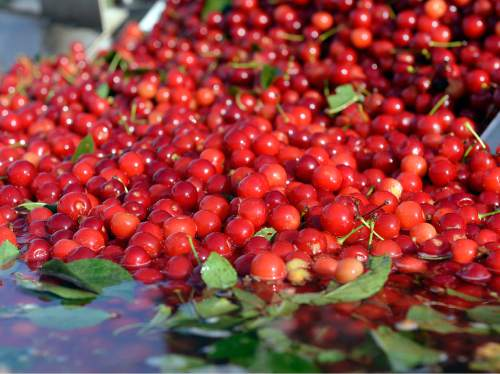Al Hartmann  |  The Salt Lake Tribune  Pie cherries, picked minutes earlier, hit the water bath before further cleaning and processing at McMullin Orchards in Payson on Thursday, July 28.   The state's cherry crop, both tart and sweet,  is exceptionally good this year, according to Utah farmers. While the last of the crop is being picked this week, farmers expect it to be around 49 million pounds, which would match the record set two years ago.