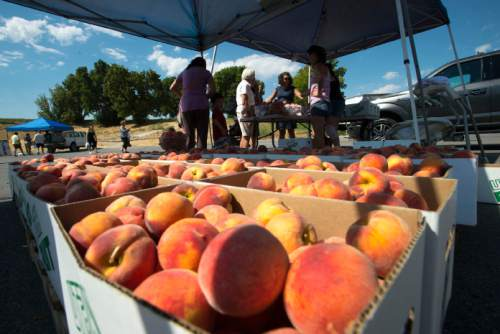 Steve Griffin / The Salt Lake Tribune  Stephanie Oldroyd of CK Farms sells her peaches as the Farmers Market in Murray Park opened for its 35th season in Murray Friday July 29, 2016, making it Utah's oldest farmers market.  All but 14 of the 70 vendors grow their own produce.