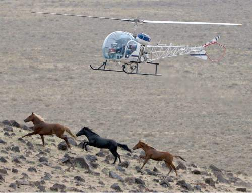 "Al Hartmann  |  The Salt Lake Tribune  Helicopter ""rounds up"" herd of wild horses across Blawn Wash about 35 miles southwest of Milford.   The BLM began rounding up wild horses in the area Monday July 28 hoping to capture up to 140 this week.  The helicopter pushes the horses across large distances to a funnel fence where they are corraled and then trucked to a holding facility."