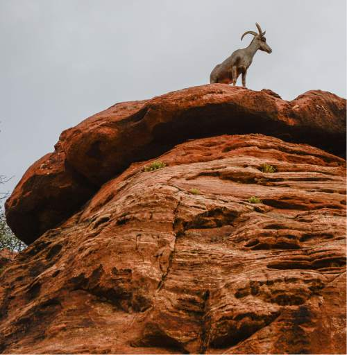 Francisco Kjolseth | The Salt Lake Tribune A big horn sheep stands watch in Zion National Park for the start of the scenic first stage of the 2016 Tour Of Utah on Monday, Aug. 1, 2016.