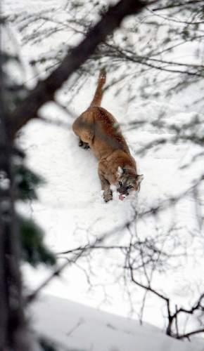 Francisco Kjolseth  |  The Salt Lake Tribune A 4-year-old female mountain lion slowly shakes off the effects of a sedative causing it to stick out her tongue after researchers from Utah State University and the Utah Division of Wildlife Resources replaced her radio-collar afer being captured in the Oquirrh Mountains recently. A Colorado man was sentenced to prison after poaching more than 30 mountain lions and bobcats, including several in Utah.