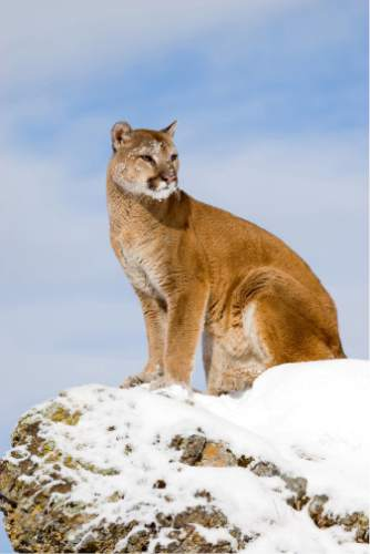 Lynn Chamberlain  |  Utah Division of Wildlife Resources  The Utah Division of Wildlife Resources recommended hiking the number of cougar hunting permits for the 2016-17 season. Last year, permitted hunters bagged 371 cougars.