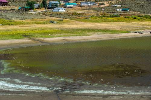 Chris Detrick     The Salt Lake Tribune Dead fish from an algal bloom at Scofield Reservoir in Carbon County Wednesday August 31, 2016. A growing algal bloom at Scofield Reservoir forced officials to close the popular Carbon County fishery to boating and swimming Wednesday until further notice. The Southeast Utah Health Department made the decision after lab results were returned showing escalating levels of cyanobacteria at Mountain View boat ramp at Scofield State Park and other places on the 2,800-acre lake nestled at 7,600 feet above sea level in the Price River's headwaters.