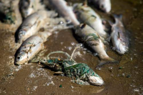 Chris Detrick  |  The Salt Lake Tribune Dead fish from an algal bloom at Scofield Reservoir in Carbon County Wednesday August 31, 2016. A growing algal bloom at Scofield Reservoir forced officials to close the popular Carbon County fishery to boating and swimming Wednesday until further notice. The Southeast Utah Health Department made the decision after lab results were returned showing escalating levels of cyanobacteria at Mountain View boat ramp at Scofield State Park and other places on the 2,800-acre lake nestled at 7,600 feet above sea level in the Price River's headwaters.