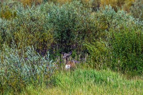 Chris Detrick  |  The Salt Lake Tribune A deer near at Scofield Reservoir in Carbon County Wednesday August 31, 2016. A growing algal bloom at Scofield Reservoir forced officials to close the popular Carbon County fishery to boating and swimming Wednesday until further notice. The Southeast Utah Health Department made the decision after lab results were returned showing escalating levels of cyanobacteria at Mountain View boat ramp at Scofield State Park and other places on the 2,800-acre lake nestled at 7,600 feet above sea level in the Price River's headwaters.