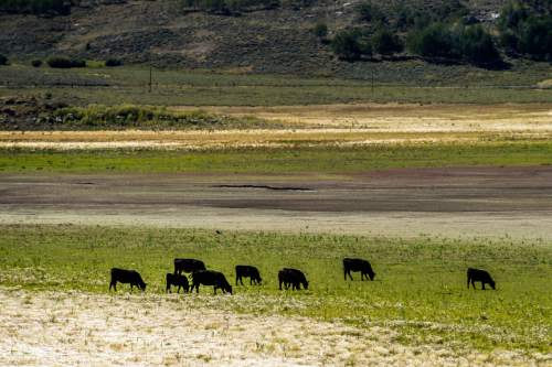 Chris Detrick  |  The Salt Lake Tribune Cattle graze near Scofield Reservoir in Carbon County Wednesday August 31, 2016. A growing algal bloom at Scofield Reservoir forced officials to close the popular Carbon County fishery to boating and swimming Wednesday until further notice. The Southeast Utah Health Department made the decision after lab results were returned showing escalating levels of cyanobacteria at Mountain View boat ramp at Scofield State Park and other places on the 2,800-acre lake nestled at 7,600 feet above sea level in the Price River's headwaters.
