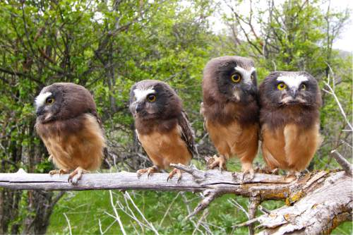 Courtesy  |  Utah Open Lands  Northern saw-whet owl nestlings were fledged recently at an Emigration Canyon bird sanctuary at Perkins Flat. Preservationists are hoping to acquire the adjacent 4.6-acre Owl Meadow, but they have only until Nov. 7 to raise $700,000.