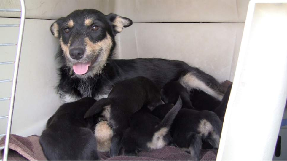 Rich Kane  |  The Salt Lake Tribune  A dog and her puppies are ready for the long drive back to Park City.