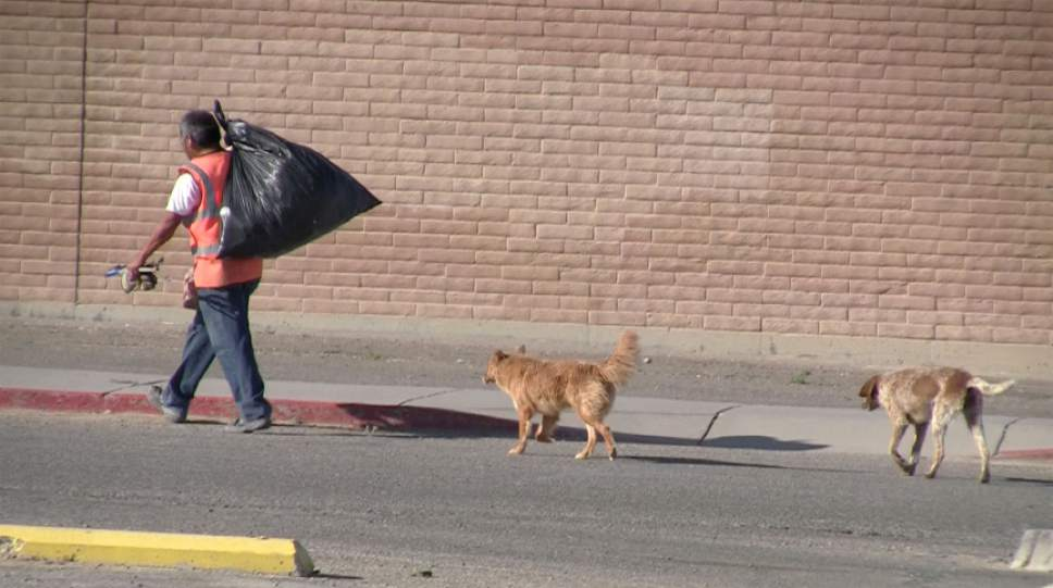 Rich Kane  |  The Salt Lake Tribune  Stray dogs follow William Shirley, who works for the city of Shiprock, New Mexico.