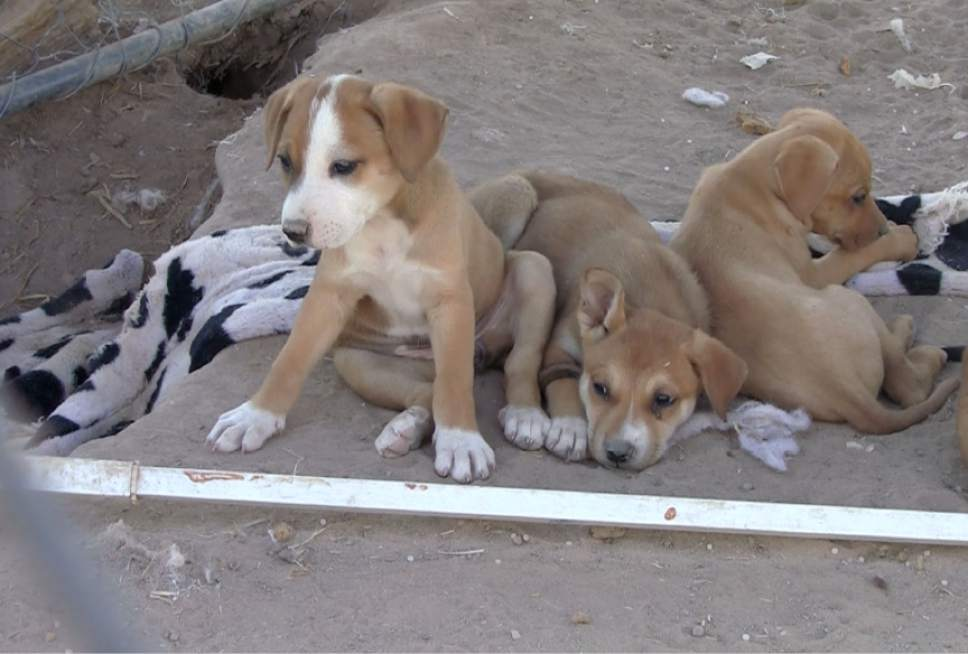 Rich Kane  |  The Salt Lake Tribune  Rescued dogs at the home of Izzy Alire and Yvonne Todacheene in Shiprock, New Mexico.