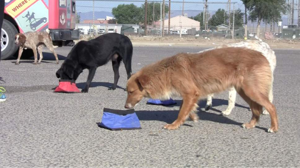 Rich Kane  |  The Salt Lake Tribune  Rescue workers from Park City-based Nuzzles & Co. feed stray dogs in a shopping center parking lot in Shiprock, New Mexico.