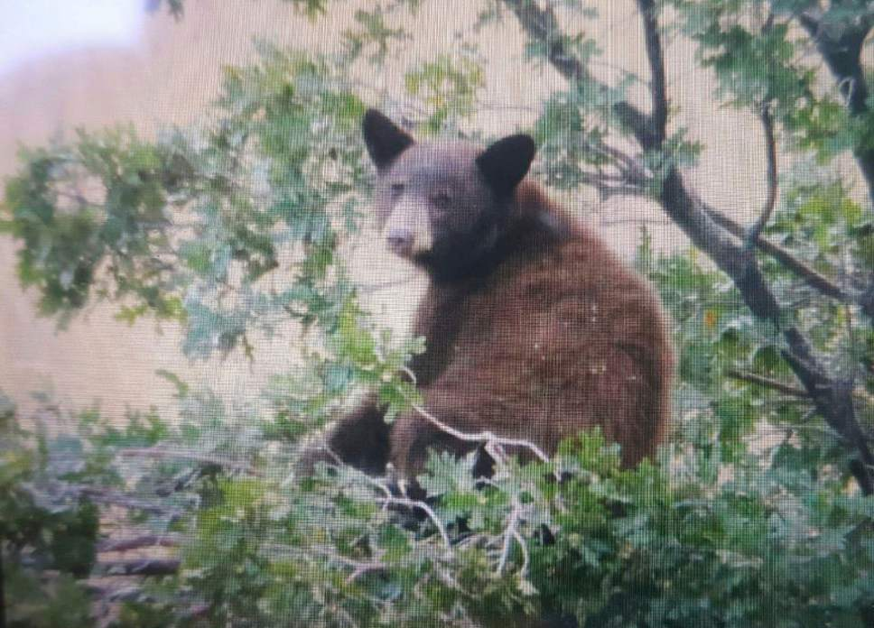 Courtesy  |  Spanish Fork Police Department  A bear cub was sighted near homes and a golf course in Spanish Fork.