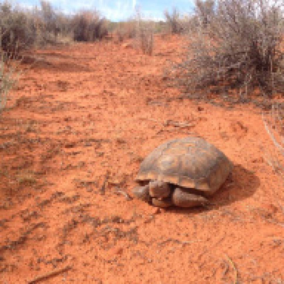 Courtesy of Kelly Kelso A federally protected Mojave desert tortoise ventures across the open at Red Cliffs National Conservation Area near St. George. Controversy is brewing over a transportation corridor Washington County officials want to build across the tortoise reserve in the conservation area.