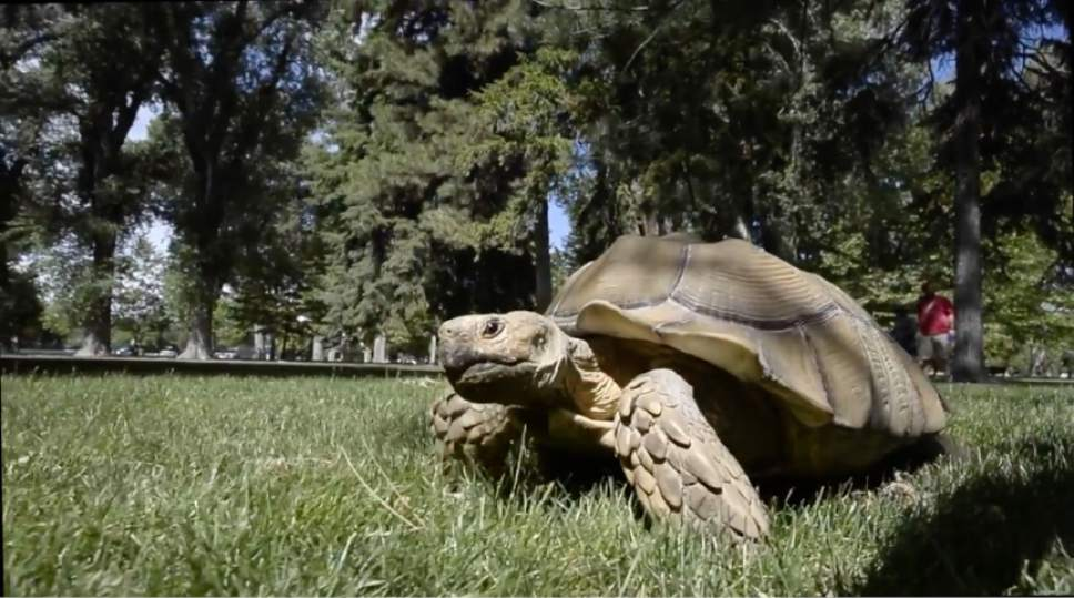 "Rick Egan  |  The Salt Lake Tribune  Sherman the 20-year-old, 100-pound pet African sulcata tortoise walks around Liberty Park. Watch video of Sherman in the Tribune's ""I Love"" series at ilove.sltrib.com."