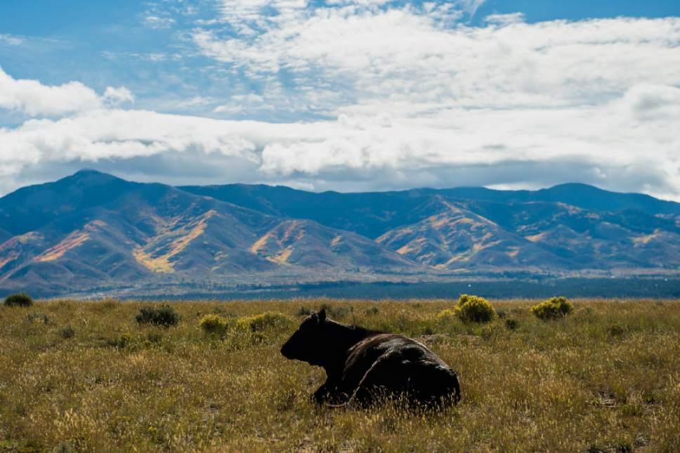 Chris Detrick  |  The Salt Lake Tribune Rancher Bobby Ortega's cattle in Rio Grande del Norte National Monument, New Mexico Friday September 30, 2016.